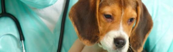 Preparing for Pre-Professional Programs: Pre-Veterinary, Pre-Animal